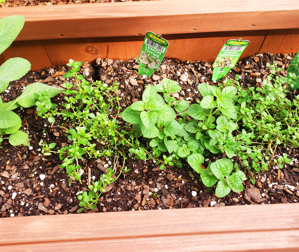 How to start an outdoor herb garden for beginners. Growing herbs in a planter box; lavender, thyme, sage, oregano, lemon thyme, basil, and rosemary. #herbs #herbgarden #earthday #garden #flowers beautifuleatsandthings.com