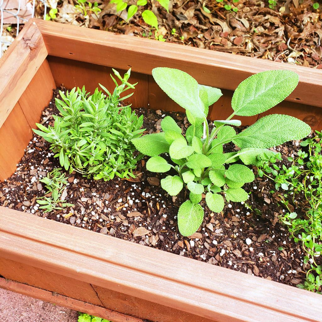 How to start an outdoor herb garden for beginners. Growing herbs in a planter box; lavender, thyme, sage, oregano, lemon thyme, basil, and rosemary. #herbs #herbgarden #earthday #garden #flowers newurbanhabitat.com